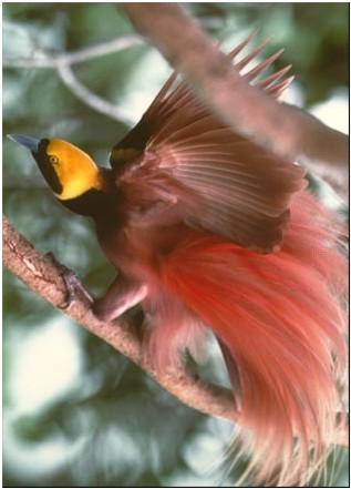 7 Burung Cendrawasih Terindah Di Dunia Adin Site S